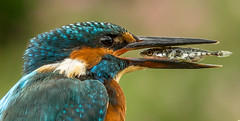 Kingfisher (not quite seeing eye to eye) photo by keje2483 back nicely refreshed with loads of editt