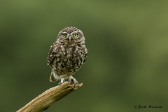 Little Owl - BBC Springwatch - Photos of the Week - 09/05/2014 photo by Jack Barnes.