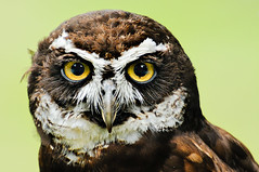 Spectacled Owl photo by Deej6