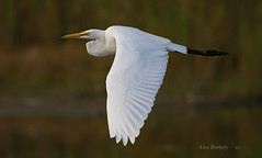 GREAT WHITE EGRET photo by AIR BUS