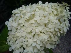 H. paniculata 'Limelight'