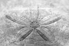 Sand Dollar Details photo by RobbART878