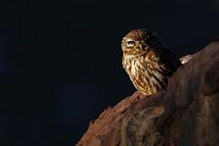Little Owl, Morocco photo by Daniel Trim