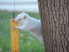 Albino Squirrel On The Corn Feeder photo by rabidscottsman