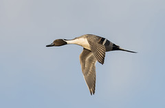 Male Pintail photo by icemelter4