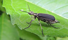 Margined Blister Beetle photo by Odonata457