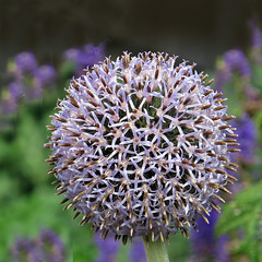 Blue Globe Thistle photo by njchow82