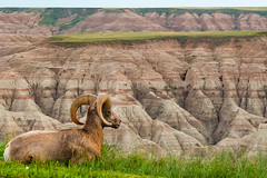 Bighorn sheep [Explored] photo by theqspeaks