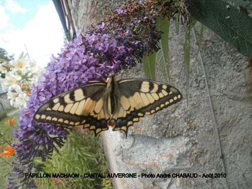 PAPILLON MACHAON 4