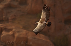 long biled vulture photo by Zahoor-Salmi