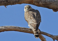 Merlin (Prairie) -  Santa Cruz Flats/AZ photo by Muriel N.