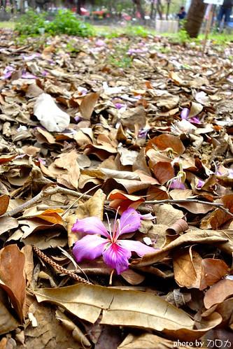 09_台南公園羊蹄甲