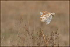 Barn Owl photo by Full Moon Images