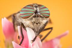 Female Horsefly (Hybomitra) [Explore 8/2/2013] photo by ECS Photography