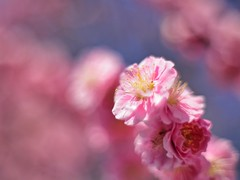 Pink plum blossoms photo by Nam2@7676