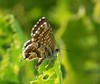 papillon brun du pélargonium