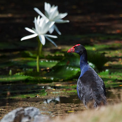 Purple Swamphen admiring the lilies! photo by Mr Bennett Kent (Feeling better and glad to be bac