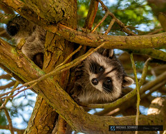 The Raccoon photo by Michael Schmidt Photography Vancouver