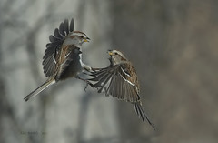 BATTLING SPARROWS a photo by AIR BUS