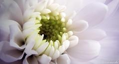My Flower photo by Kan3mochi