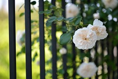 Rose 'Sombreuil' in the fence of the balcony photo by myu-myu