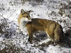 Fox in snow photo by boni5d