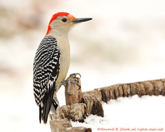 Snow Day (Red-bellied Woodpecker) photo by HowardCheekPhotography.com