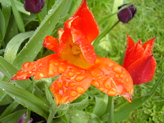 May2013 158 Tulip in the rain Sorry, I can't comment much for a bit. photo by monica_meeneghan