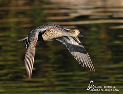 Female Pintail photo by mtetcher