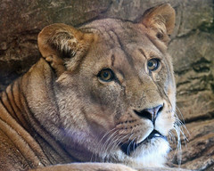 African Lioness photo by Buggers1962