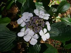 H. macrophylla 'Hatsushimo'