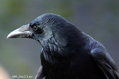 Carrion Crow . photo by maggie230