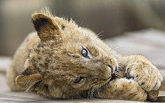 Cub lying and chewing the wood photo by Tambako the Jaguar