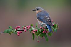Eastern bluebird, female photo by Phiddy1