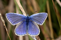 And Again - a Common Blue photo by claylaner
