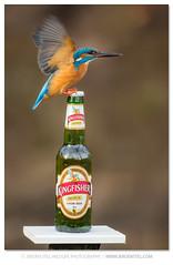 Kingfisher-Alcedo atthis photo by www.jeroenstel.com