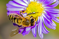 "Bee Macro ""explore"" photo by Bob Noble Photography"