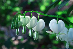 Be Still My Bleeding Hearts ~ White  {Explored} photo by Garry9600