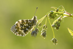 Orange-tip (f), Asney, Somerset