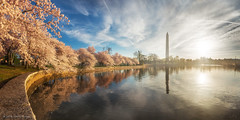 Peak Cherry Blossoms Sunrise Panorama photo by navinsarma