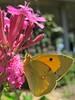 papillon Le Souci