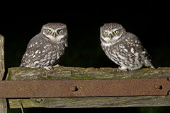 Little Owl (Athene noctua)   Wild birds photo by phil winter