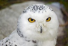 Snowy Owl photo by J. A. McCrae