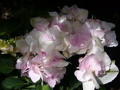 H. macrophylla 'Sekka Yae' = 'Domotoï''