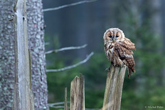 Tawny Owl photo by Michal Petro