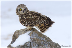 Short-eared Owl photo by Earl Reinink