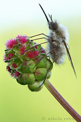 Bee fly photo by Nikola Rahme