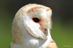 Barn Owl photo by Chris-Henry