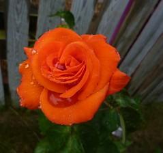 Rainy Orange Rose photo by Bebopgirl1969