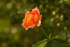Orange rose photo by Anna Calvert Photography